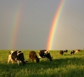 krusen-grass-cattle-02