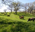 krusen-grass-cattle-06