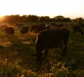 krusen-grass-cattle-12