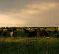 krusen-grass-cattle-01