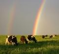 krusen-grass-cattle-02