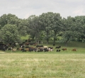 krusen-grass-cattle-03