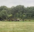 krusen-grass-cattle-03