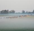 krusen-grass-cattle-05