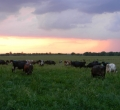 krusen-grass-cattle-09