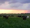 krusen-grass-cattle-09