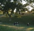 krusen-grass-cattle-13