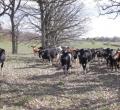 krusen-grass-cattle-15